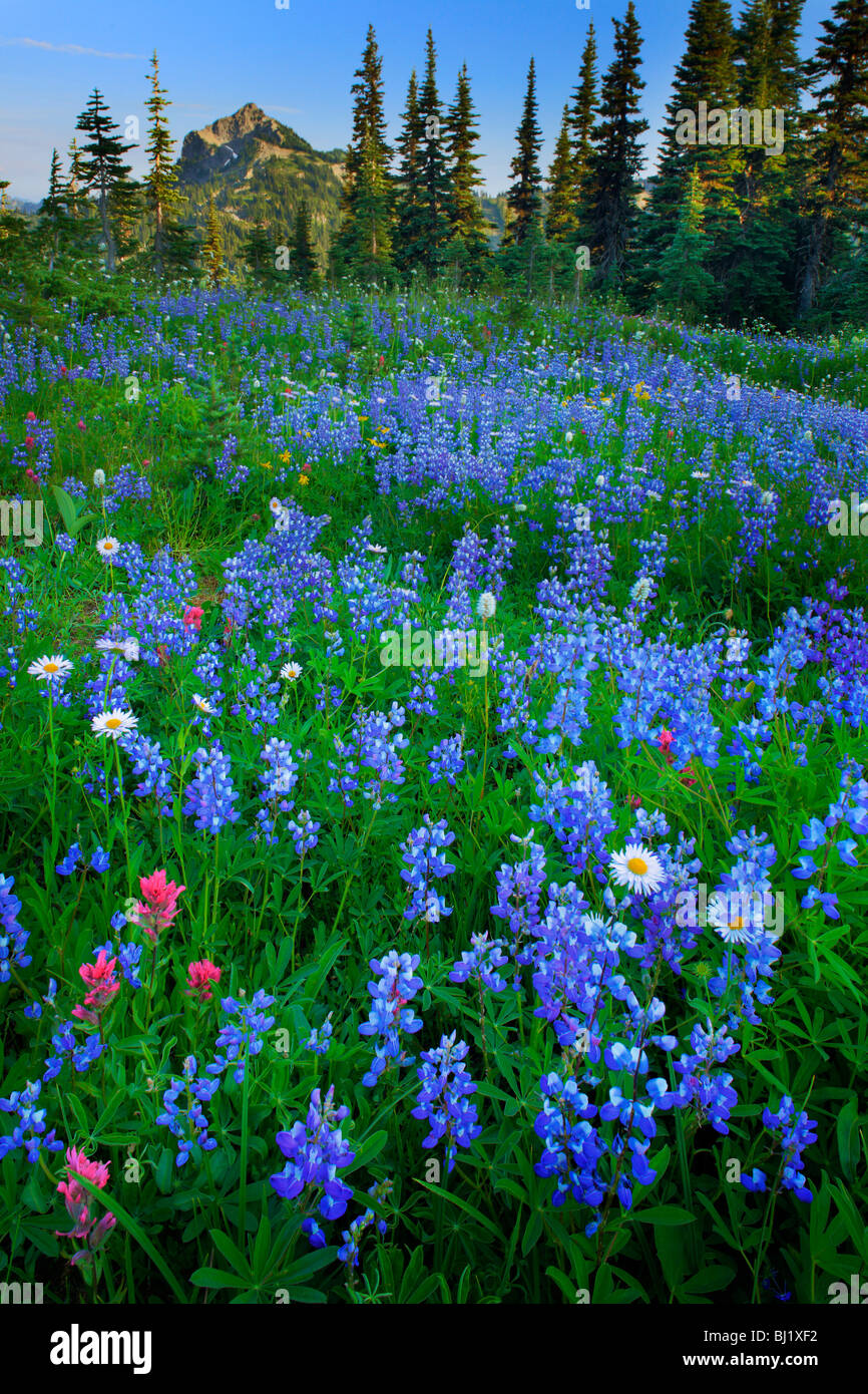 Meadow full of lupines in Mount Rainier National Park - Stock Image