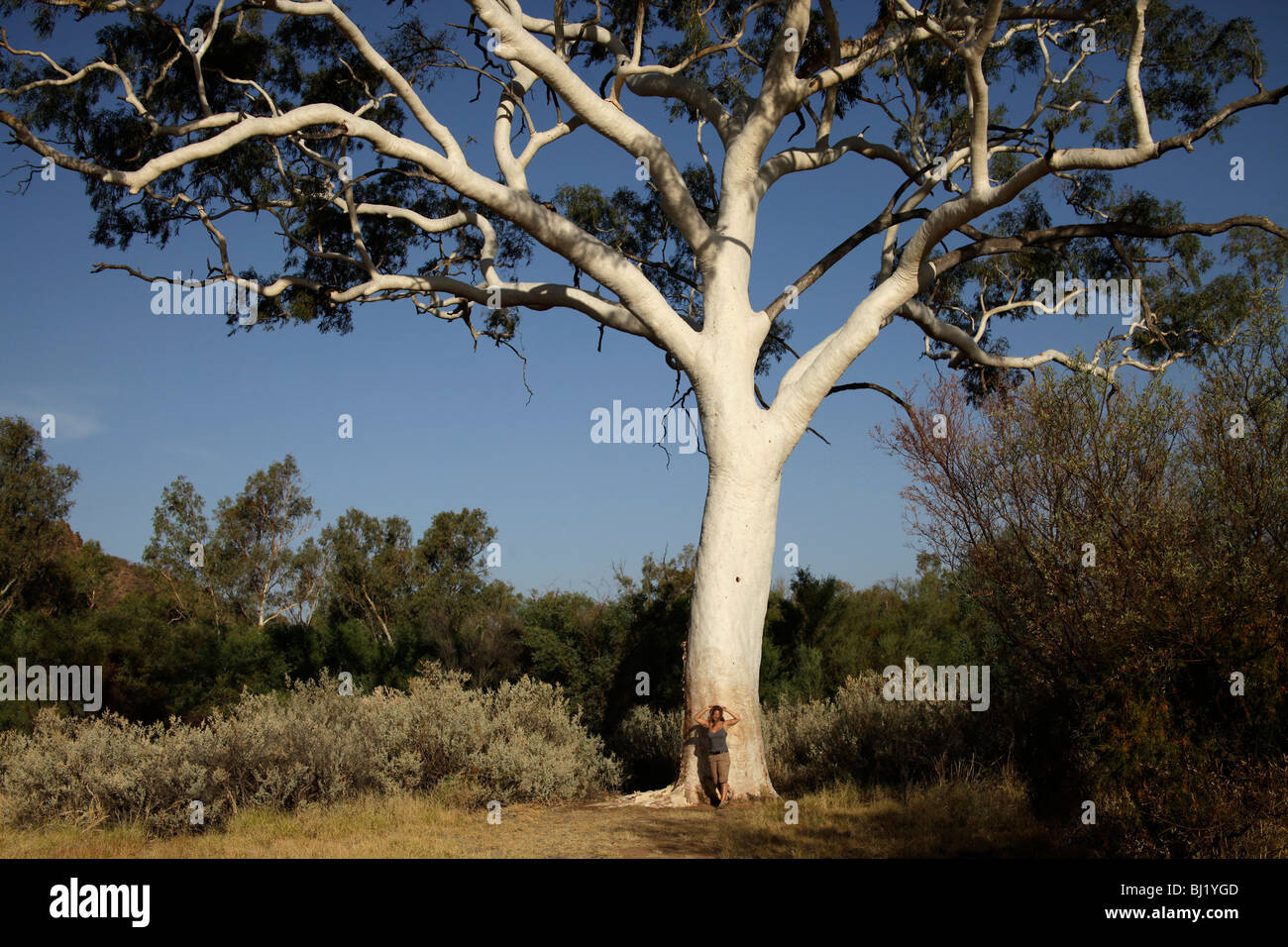 Giant Ghost Gum tree near Trephina Gorge, MacDonnell Ranges, Australia - Stock Image