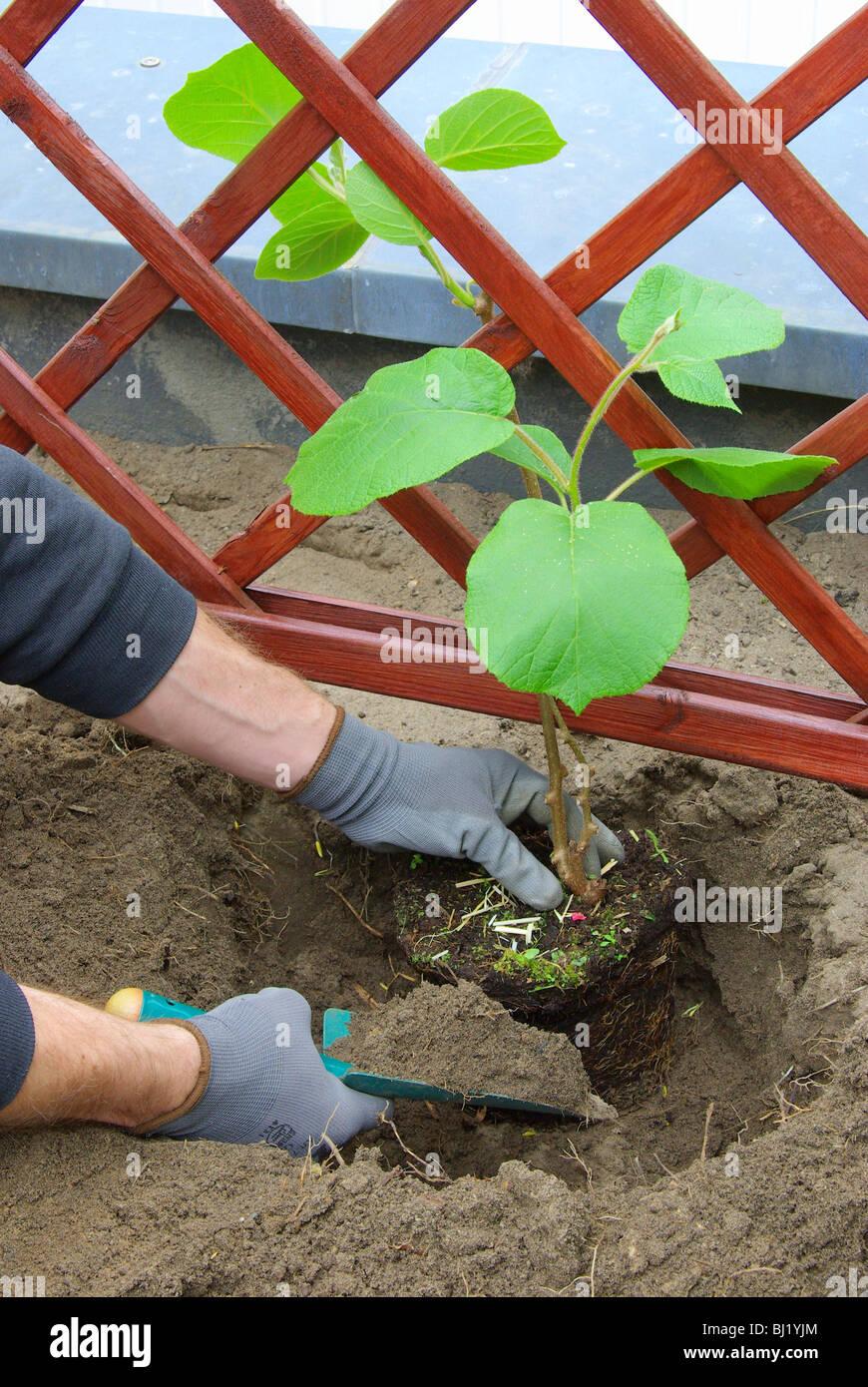 Kiwipflanze pflanzen - planting a kiwi plant 02 - Stock Image