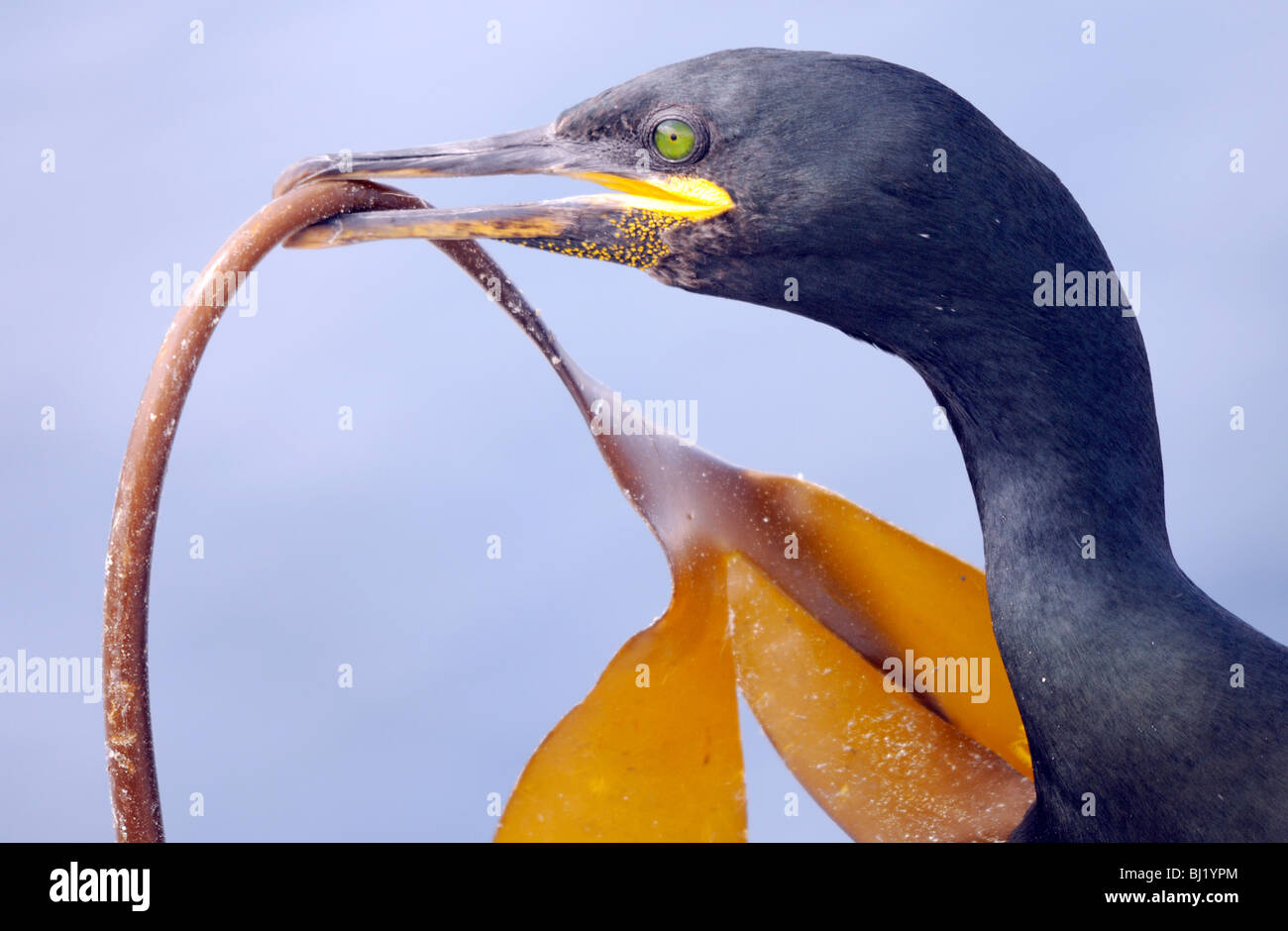 A Shag (Phalacrocorax aristotelis) brings a frond of kelp for its mate to add to their nest. Northumberland, UK. - Stock Image
