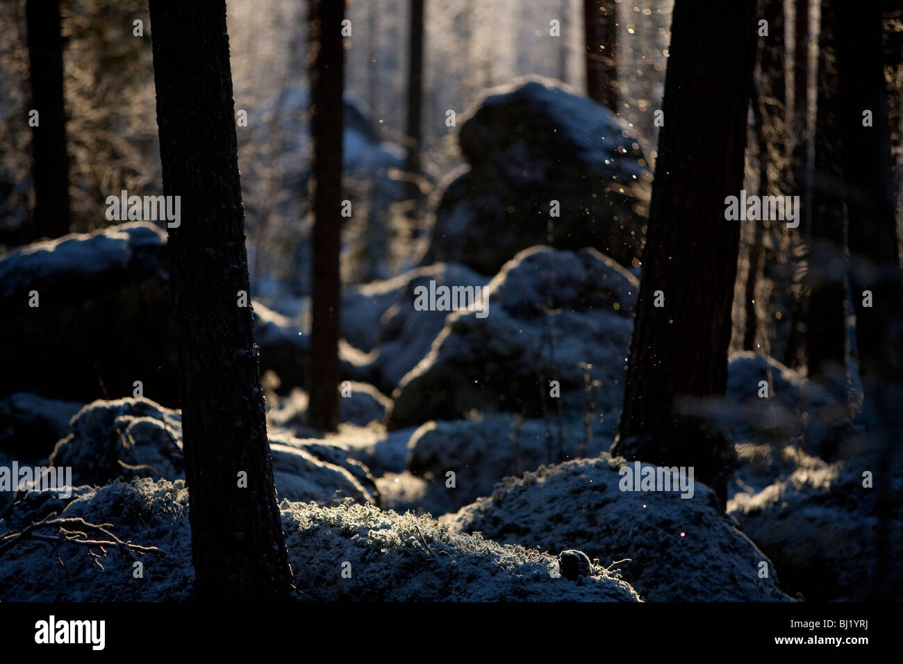 View of rocky Finnish pine forest ( pinus sylvestris ) at Winter - Stock Image