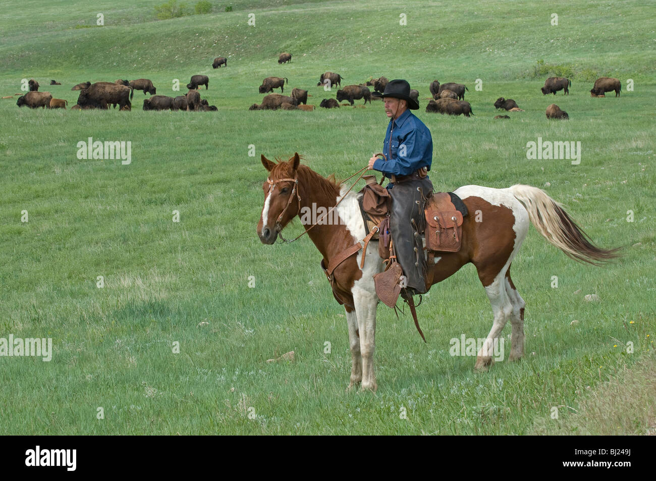 Cowboy in front of Bison (Bison bison) herd. Custer State Park, South Dakota, USA. - Stock Image