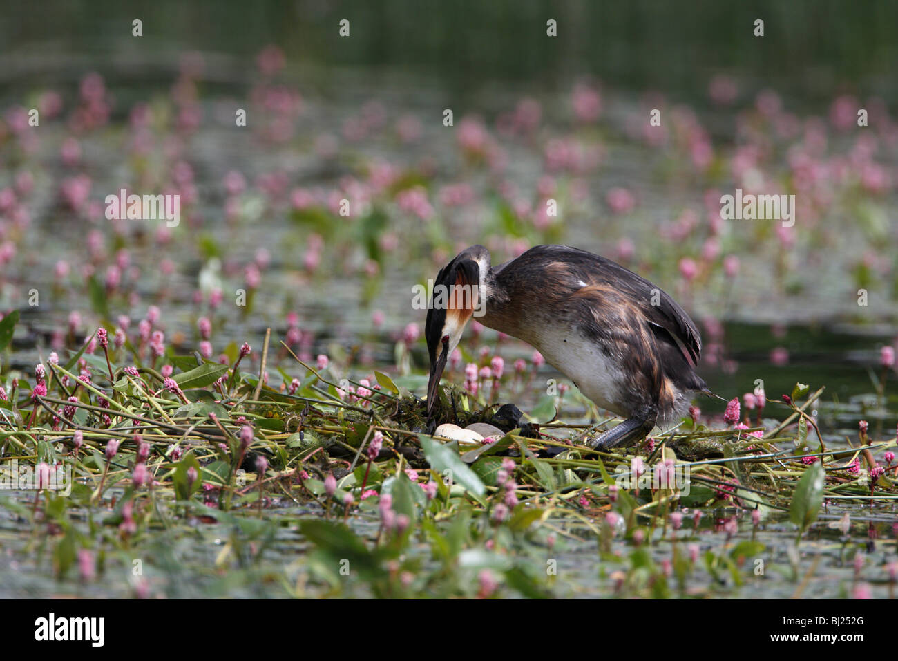 Great Crested Grebe, Podiceps cristatus turning eggs on nest - Stock Image