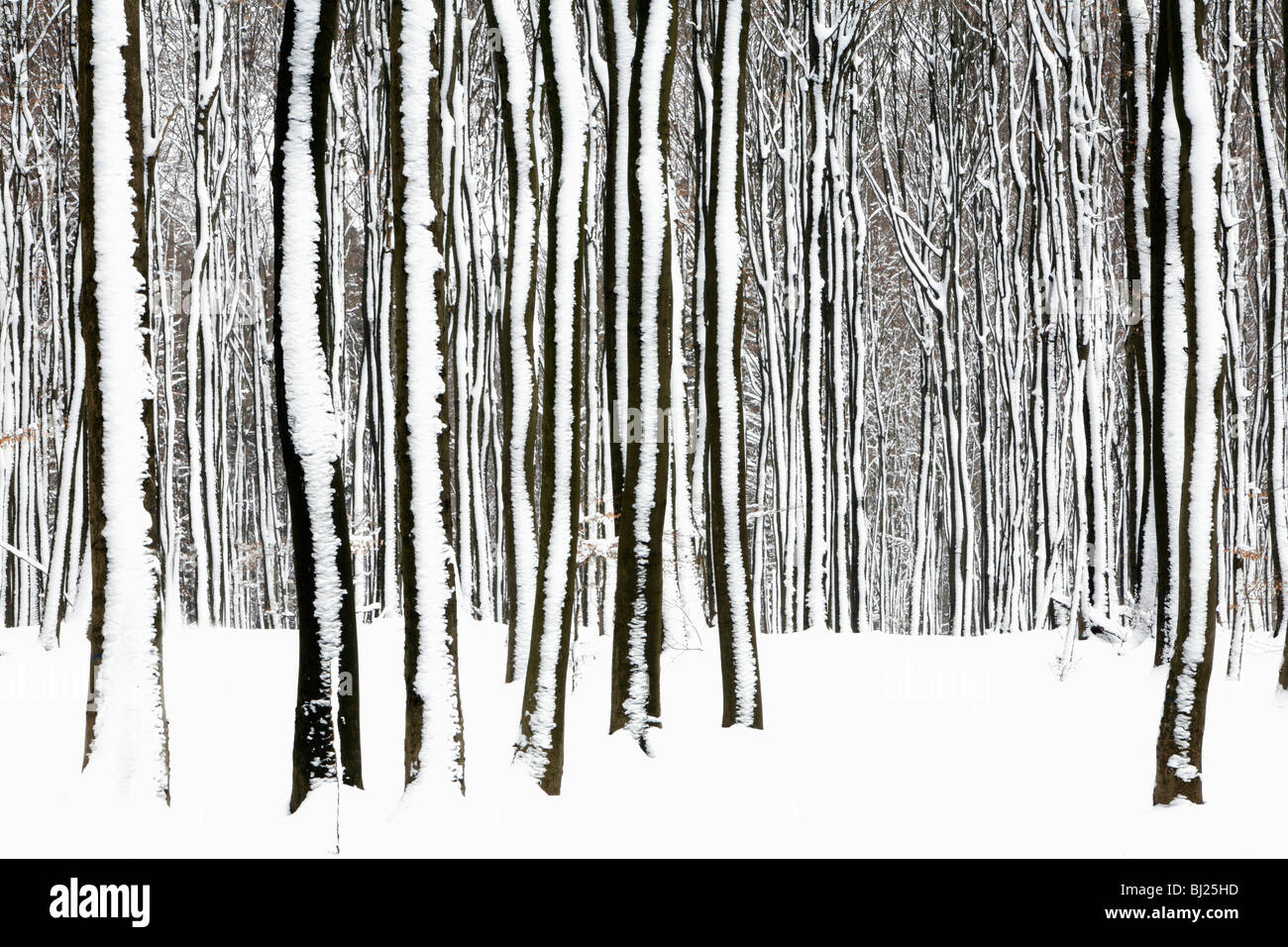 Beech tree stems, Fagus sylvatica, in woodland, covered in snow, Germany - Stock Image