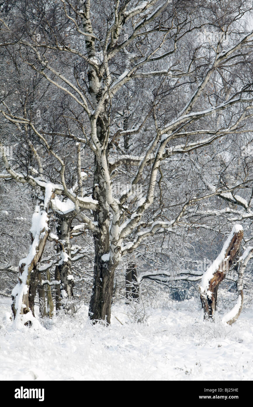 Birch trees, Betula pendula, covered in snow, Germany - Stock Image