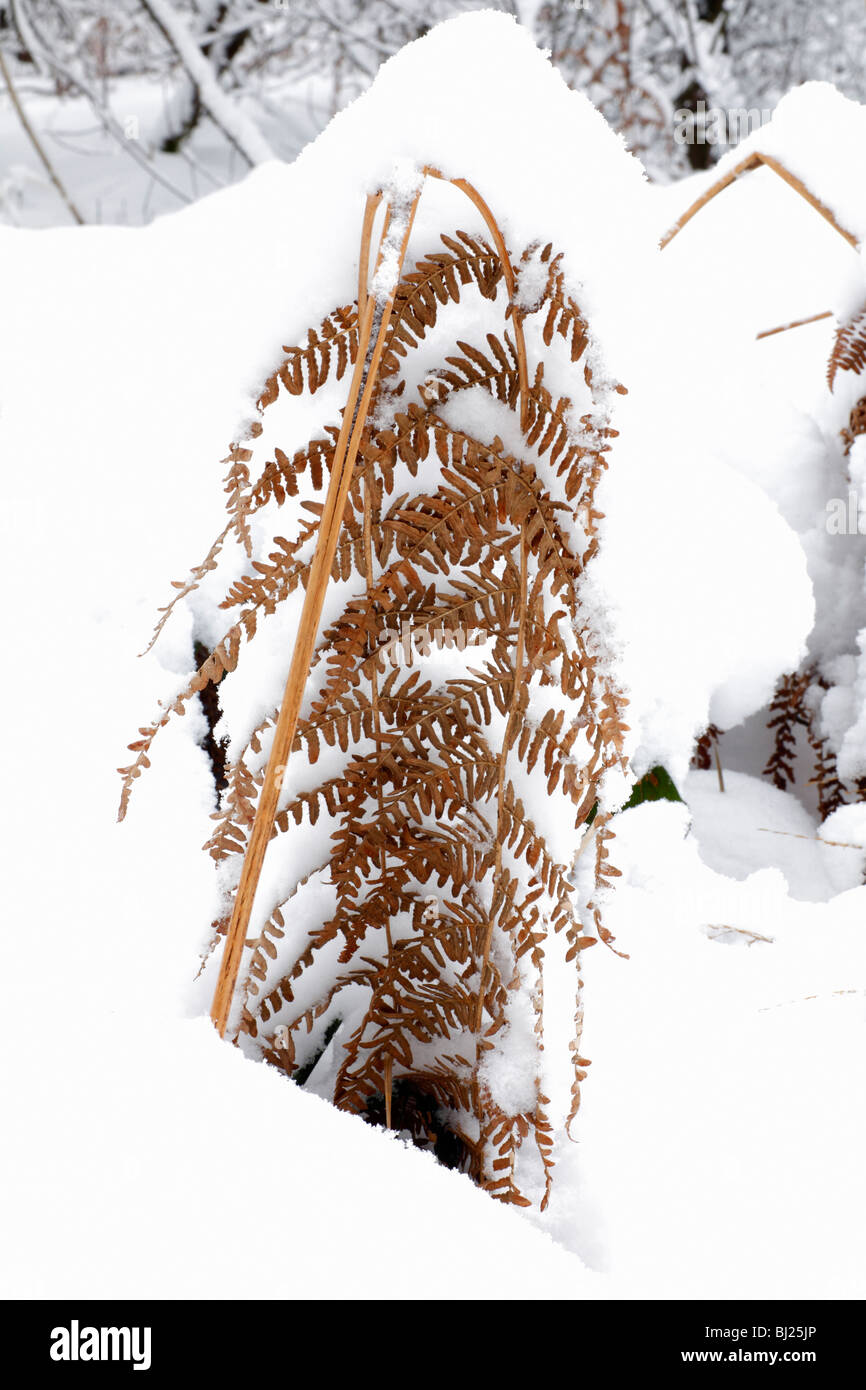 Fern, Bracken Frond, on snow covered forest floor, winter, Germany - Stock Image