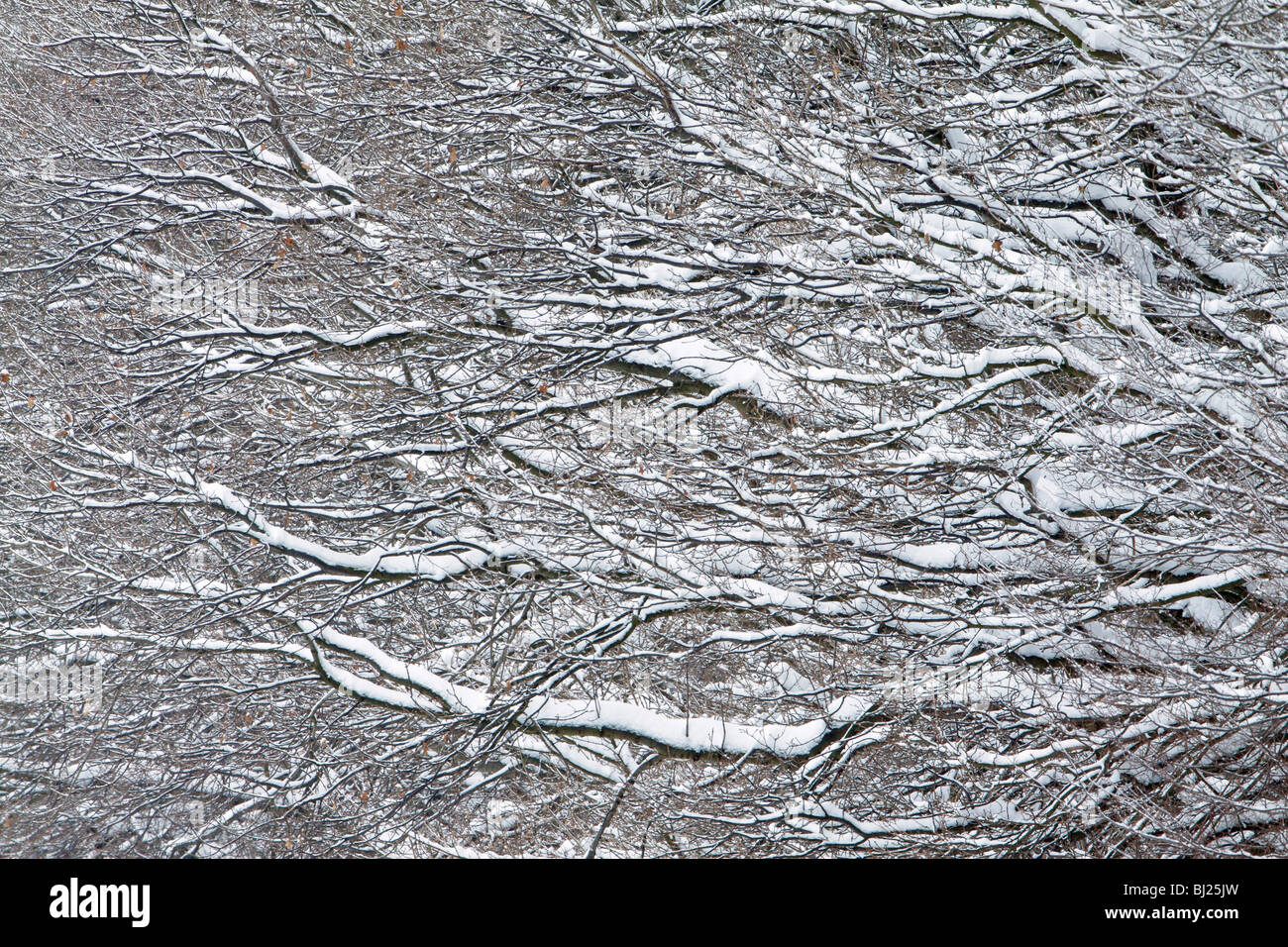Oak tree, Quercus robur, branches covered in snow, winter - Stock Image