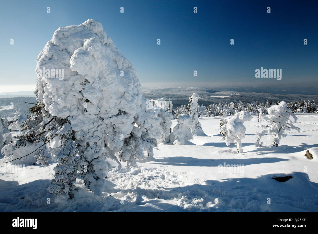 Snow covered Norway Spruce fir trees, Picea abies, at Brocken summit , Hoch Harz National Park ,Sacsen-Anhalt ,Germany - Stock Image