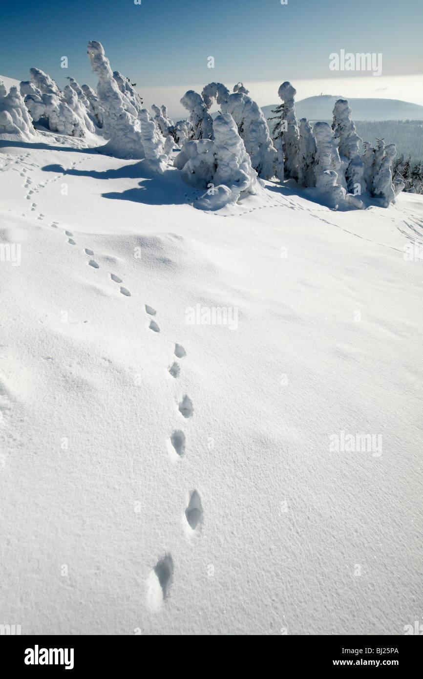 European Fox, tracks in snow, Harz mountains, Lower Saxony, Germany - Stock Image