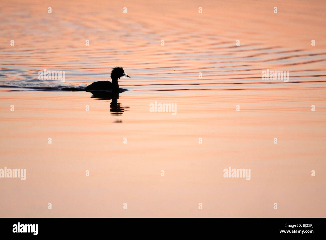 Great Crested Grebe (Podiceps cristatus), silhouette of bird on lake at twilight, Island of Texel, Holland - Stock Image