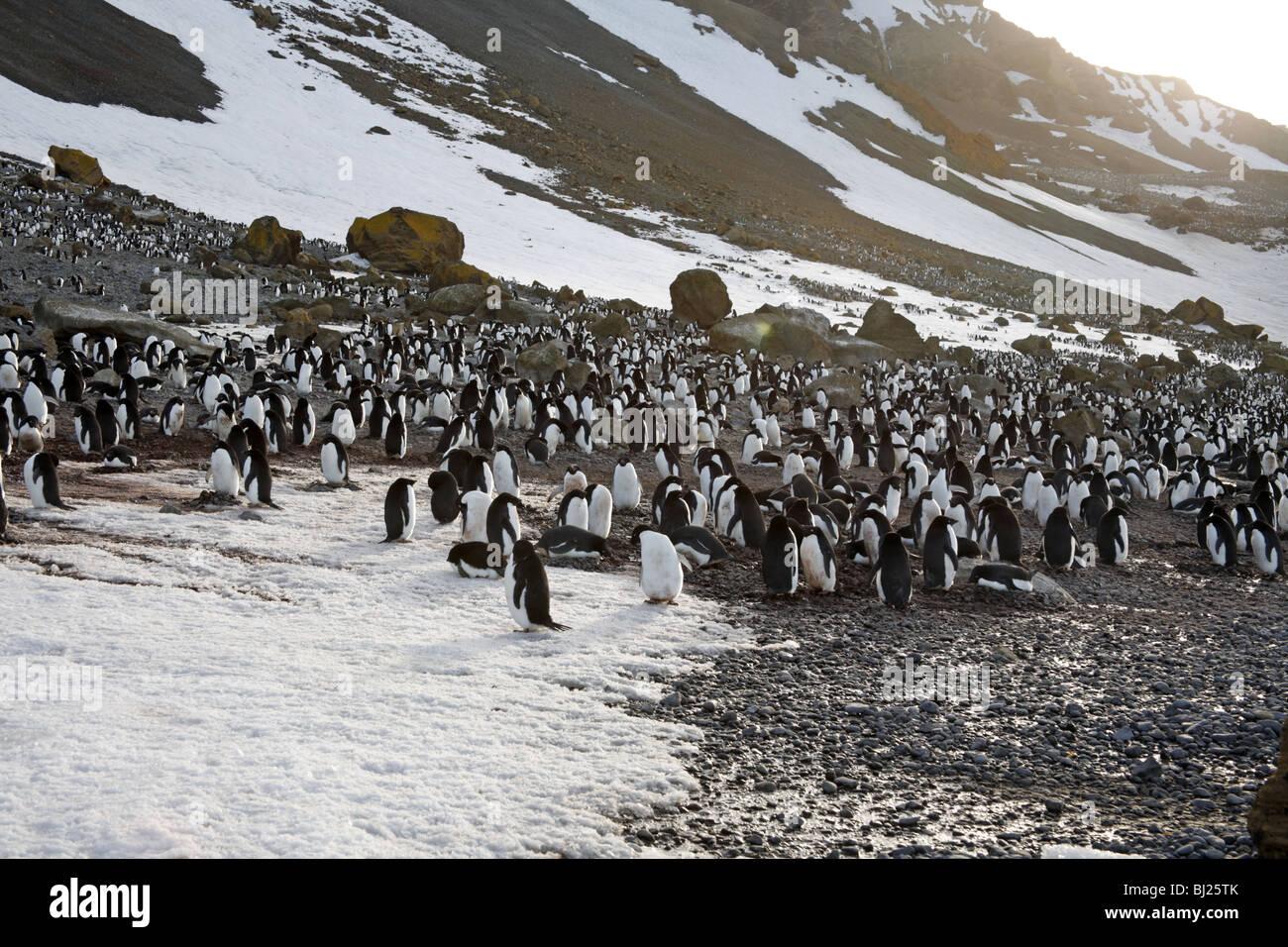 Adelie Penguin, Pygoscelis adeliae, colony at Brown Bluff, Antarctic peninsula - Stock Image
