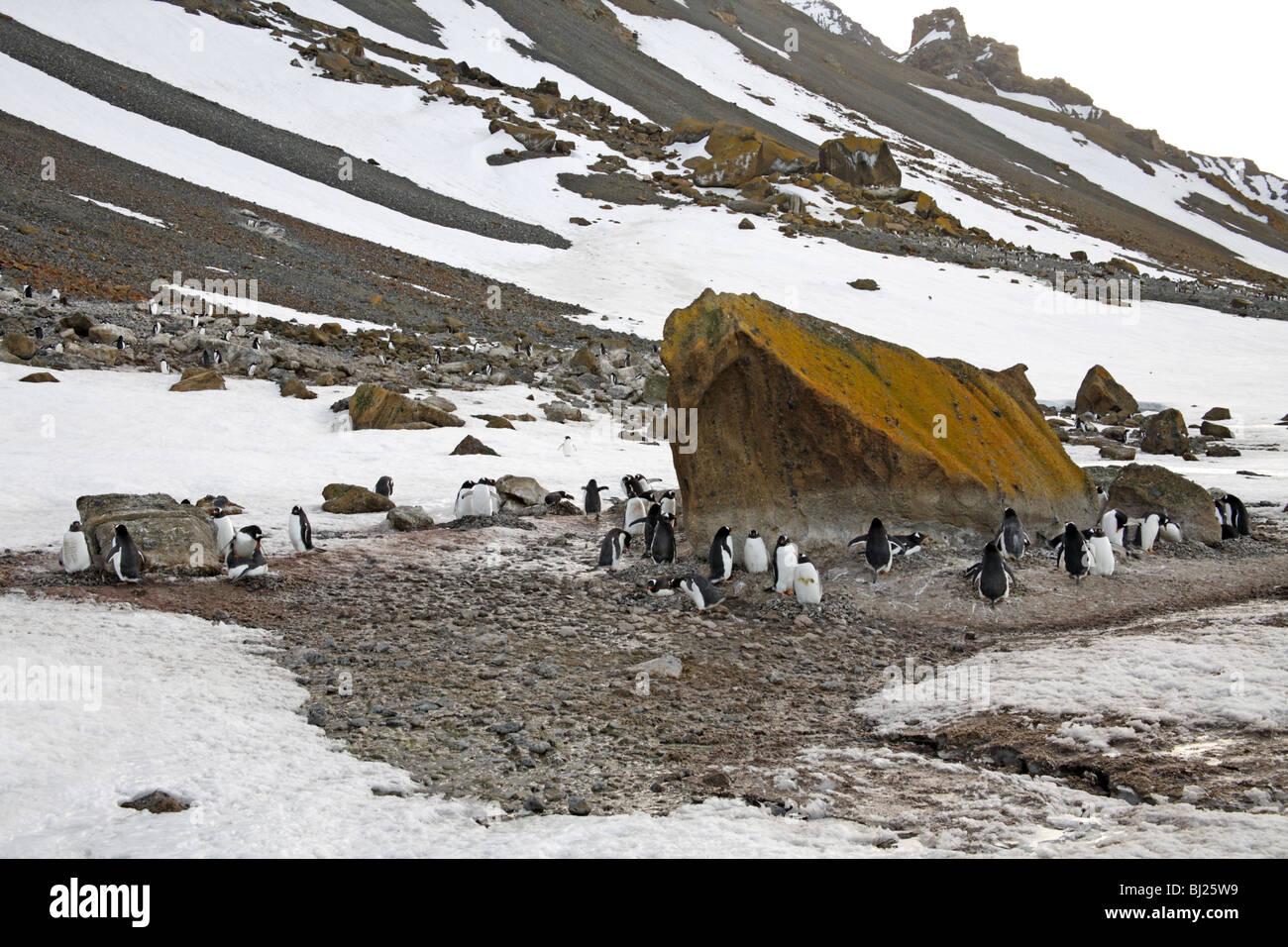 Gentoo Penguin Pygoscelis papua colony at Brown Bluff, Antarctic peninsula - Stock Image
