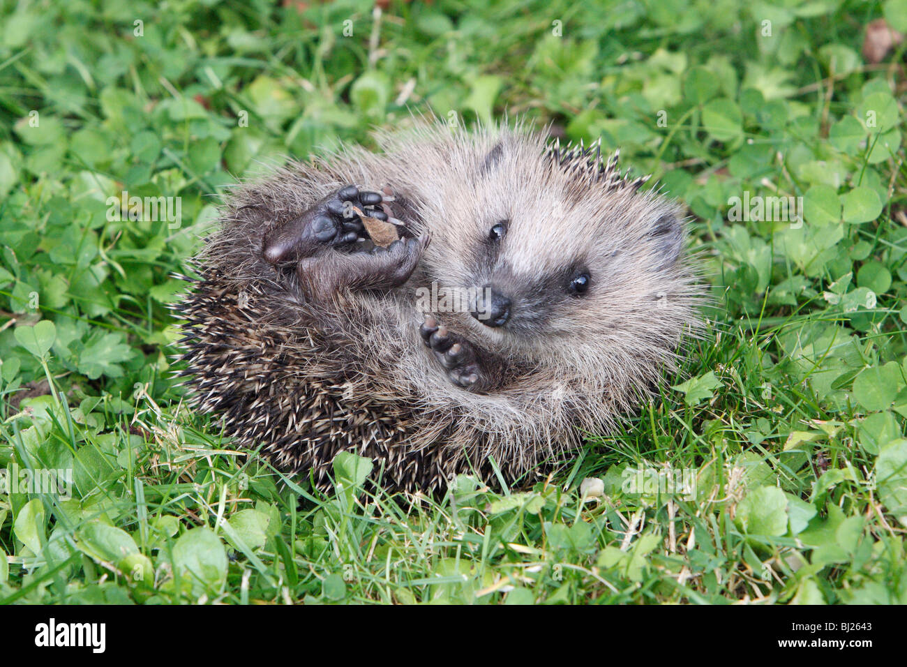 European Hedgehog (Erinaceus europaeus) young animal unrolling itself in garden - Stock Image