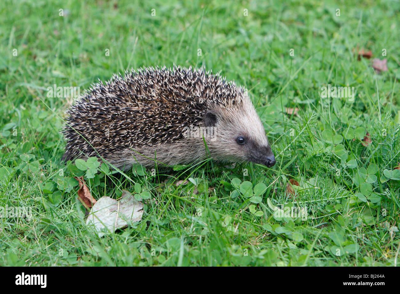 European Hedgehog (Erinaceus europaeus) young animal in garden - Stock Image