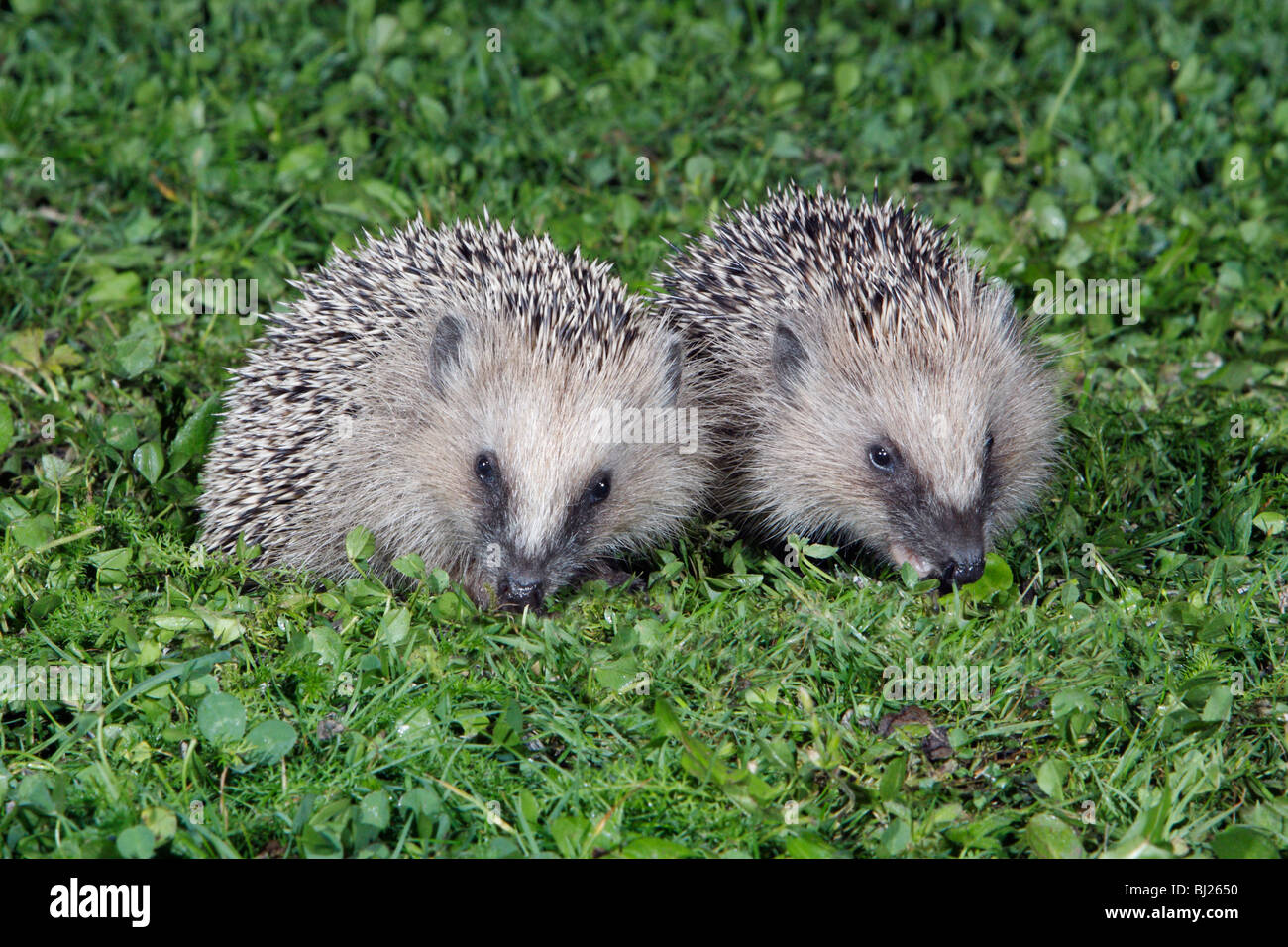 European Hedgehog (Erinaceus europaeus) 2 young animals in garden feeding - Stock Image