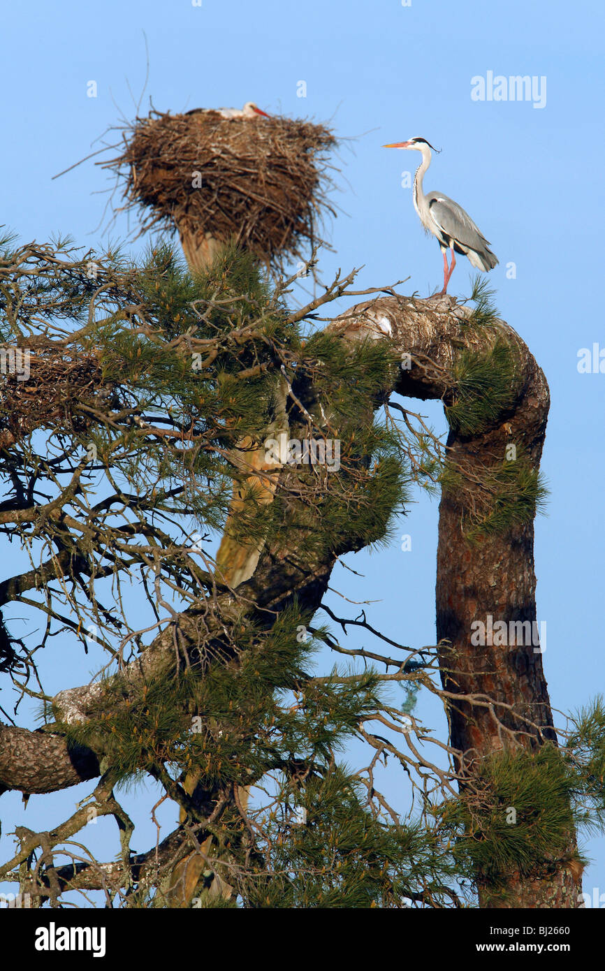 Grey Heron (Ardea cinerea), perched on old pine tree, at white stork and heron colony, Portugal - Stock Image