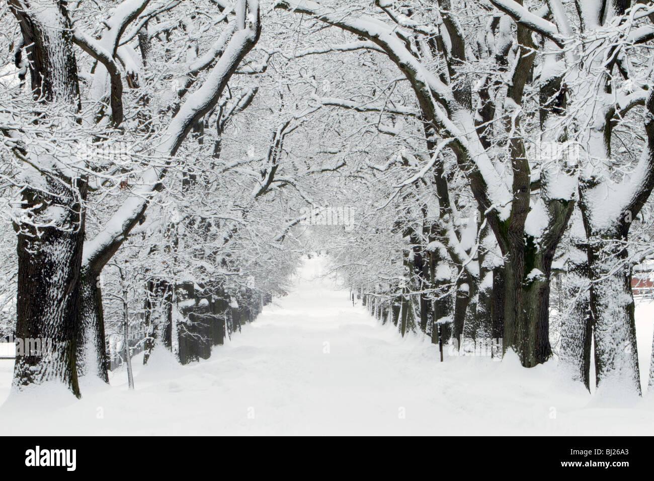 Oak trees, Quercus robur, Avenue in winter, Sababurg, North Hessen, Germany - Stock Image