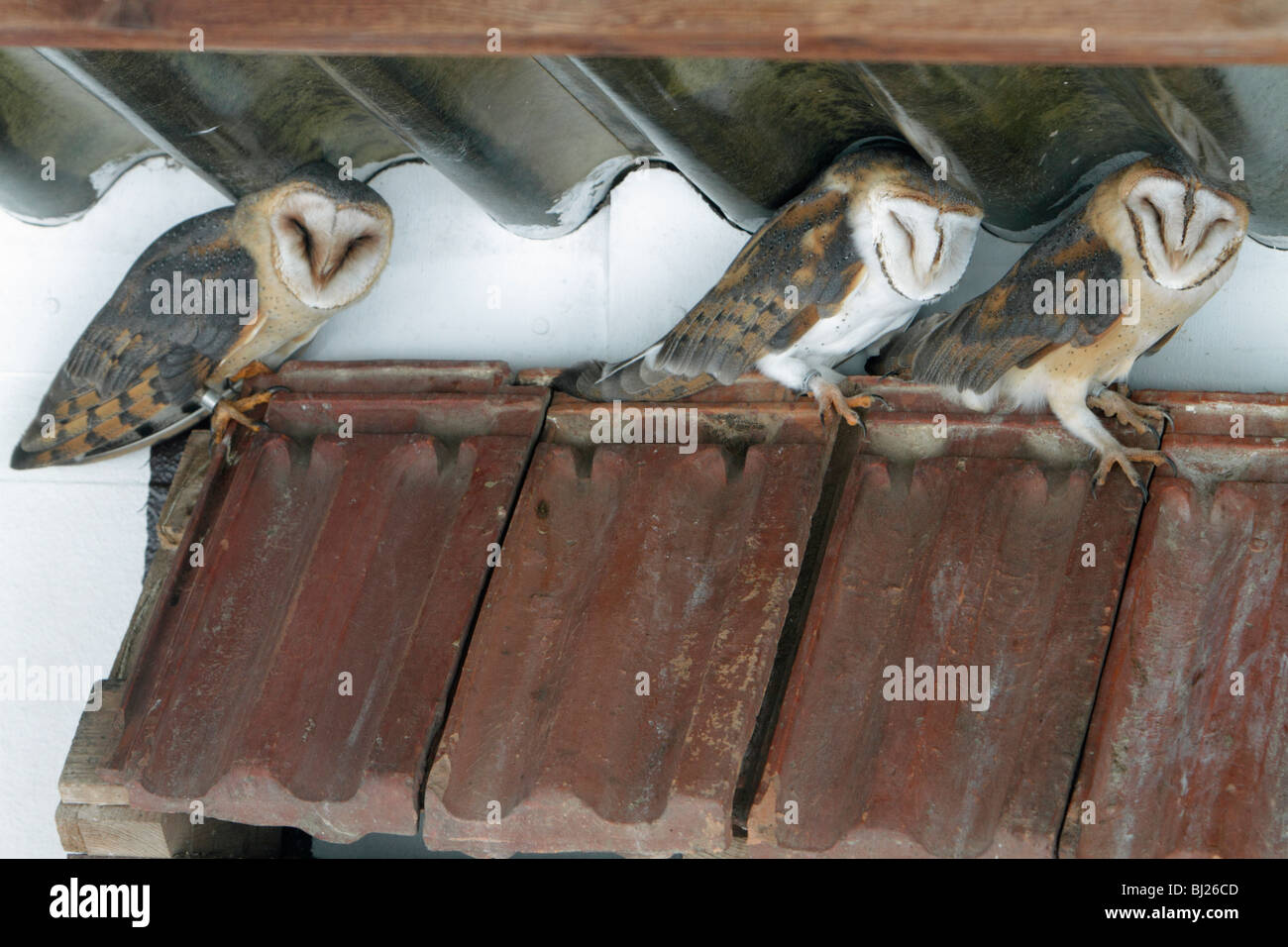 Barn Owl, Tyto alba, three resting during daytime, in building, Germany - Stock Image