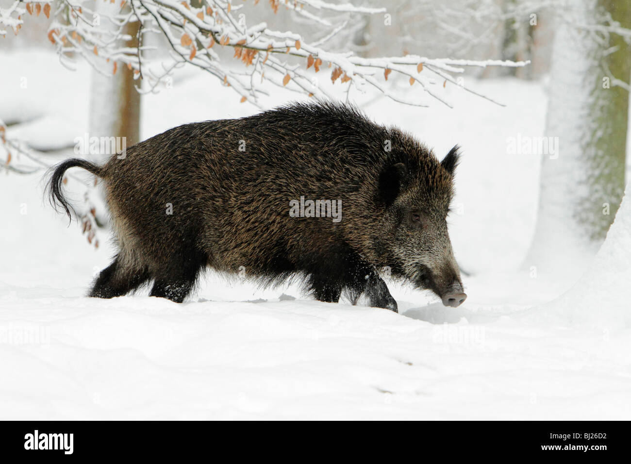 Wild Boar, Sus Scrofa, sow walking through snow covered forest, Germany - Stock Image
