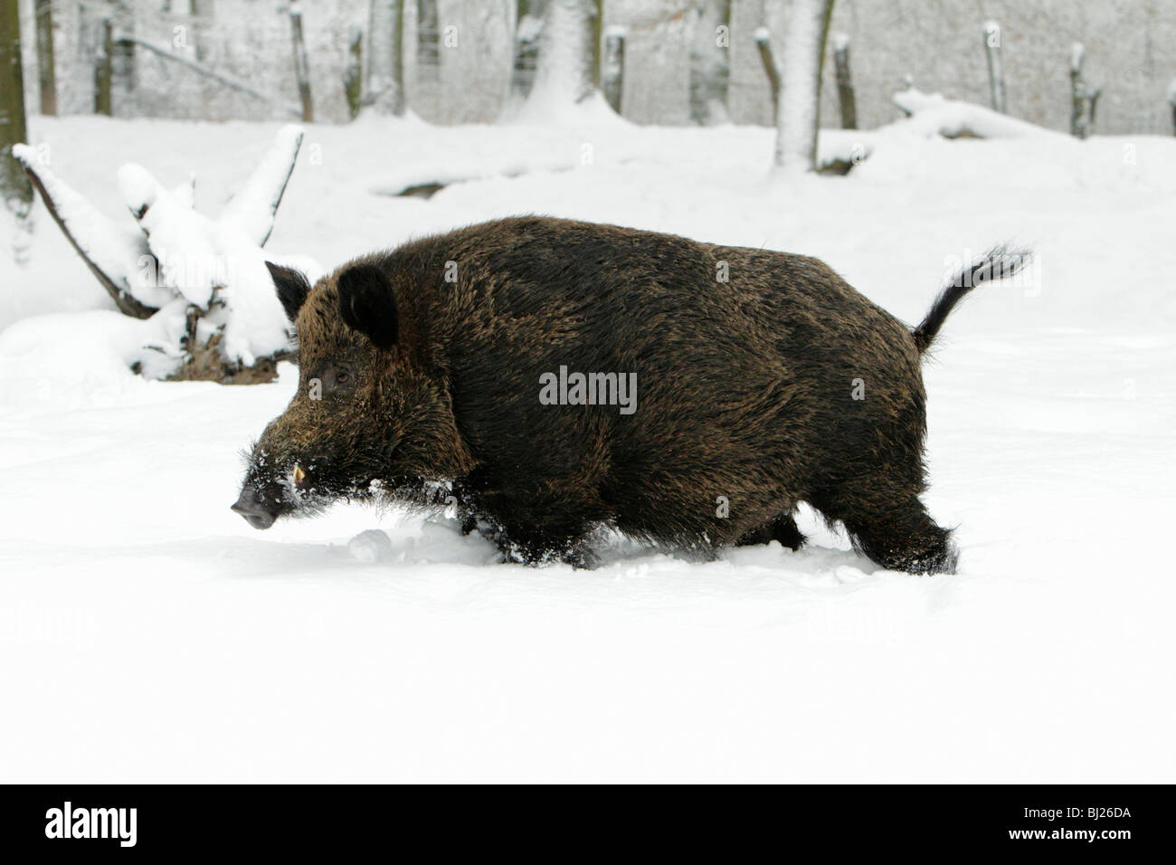 Wild Boar, Sus Scrofa, in snow covered forest, Germany - Stock Image