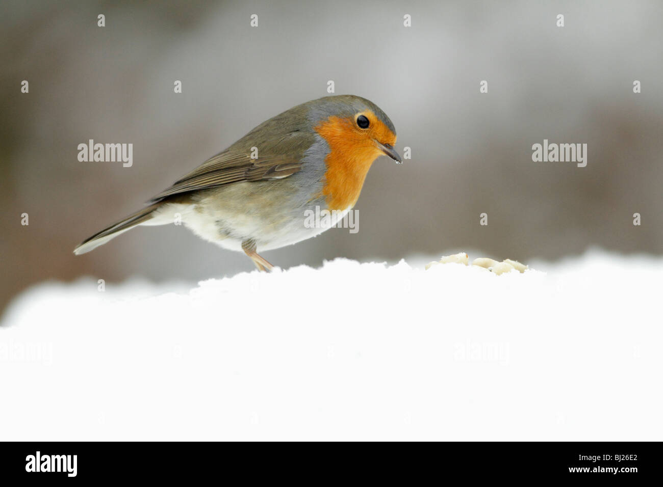 European Robin, Erithacus rubecula, searching for food in garden, in winter, Germany - Stock Image