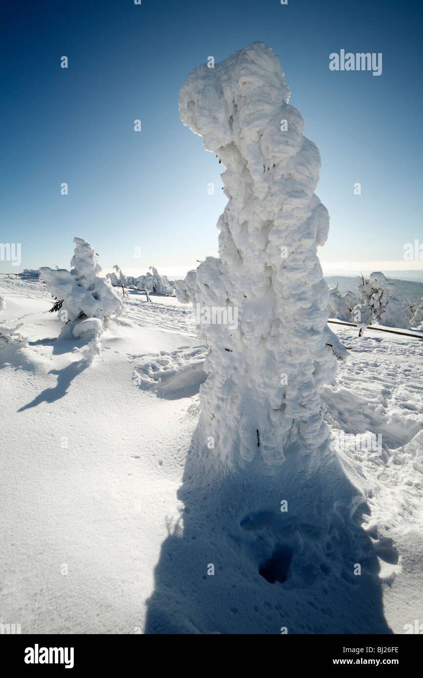 Snow covered Norway Spruce trees, Picea abies, in winter, Brocken mountain, National Park Hochharz, Saxony_Anhalt, - Stock Image