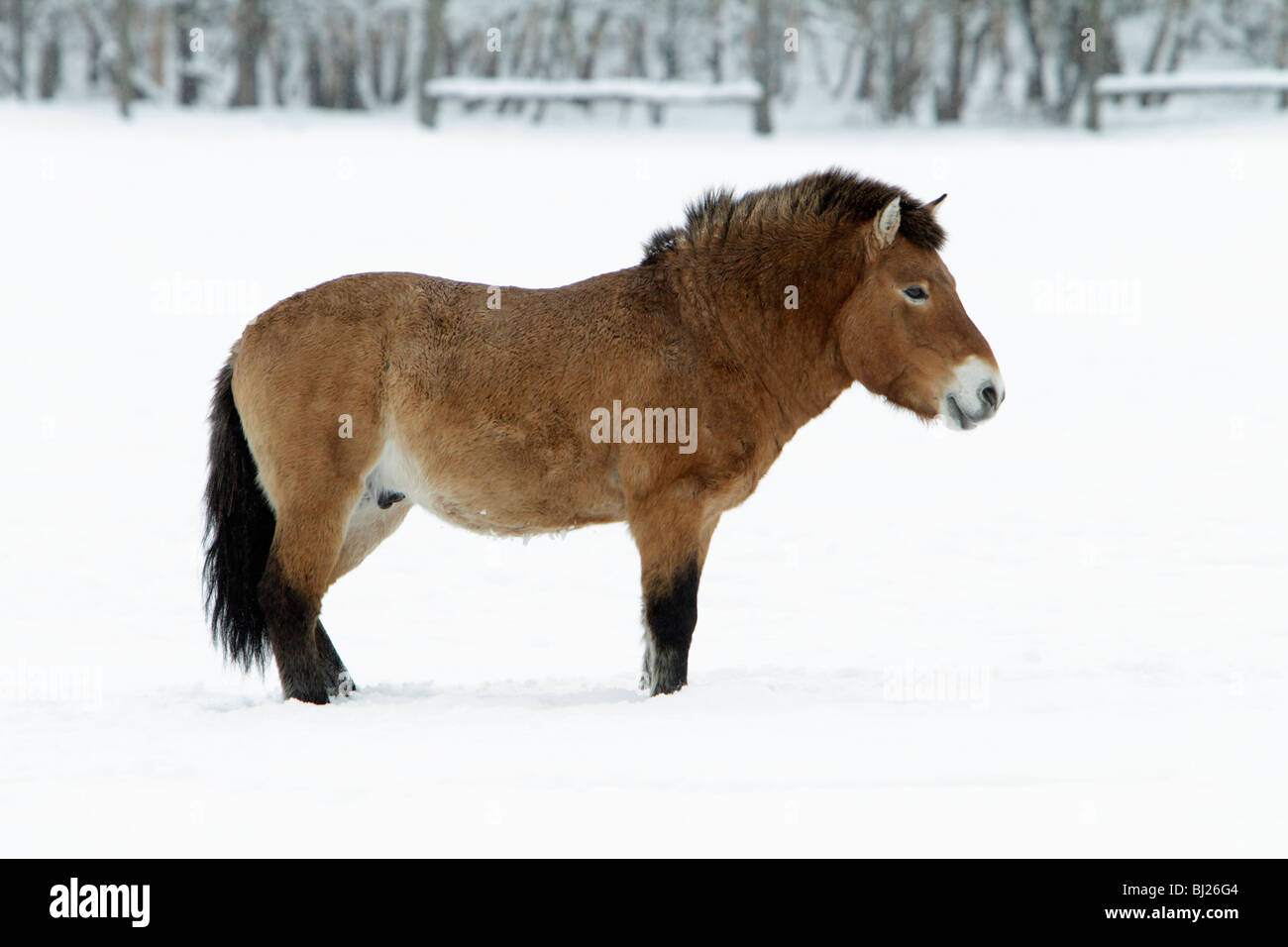 Presewalski's horse, Stallion on snow covered field, Germany - Stock Image