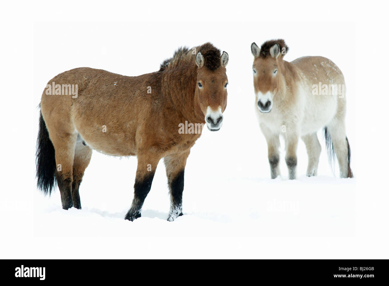 Presewalski's Horse, stallion and mare on snow covered field, Germany - Stock Image
