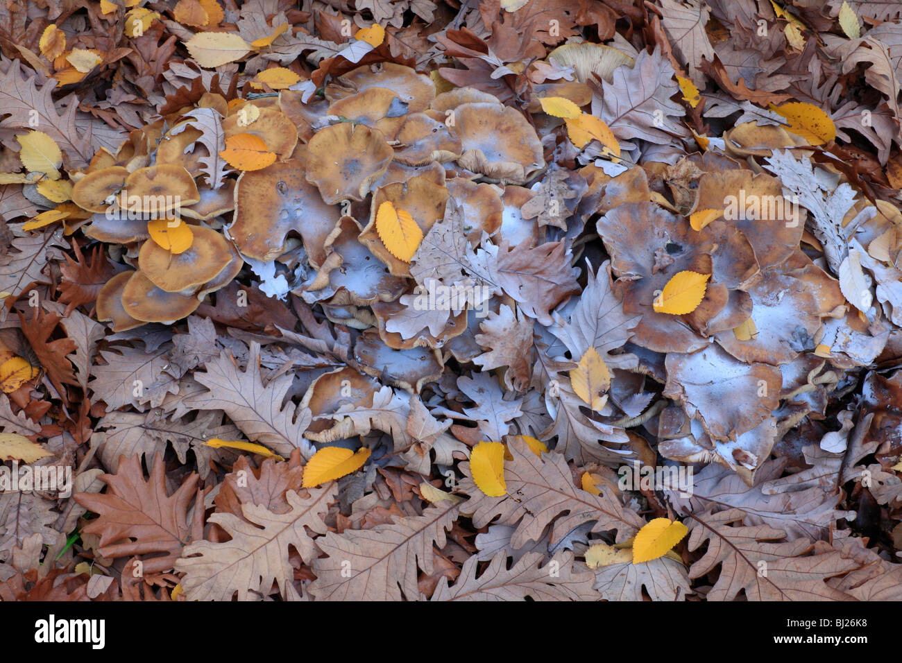 Honey Fungus (Amellaria mellea), fruiting bodies and spores among autumn leaves - Stock Image