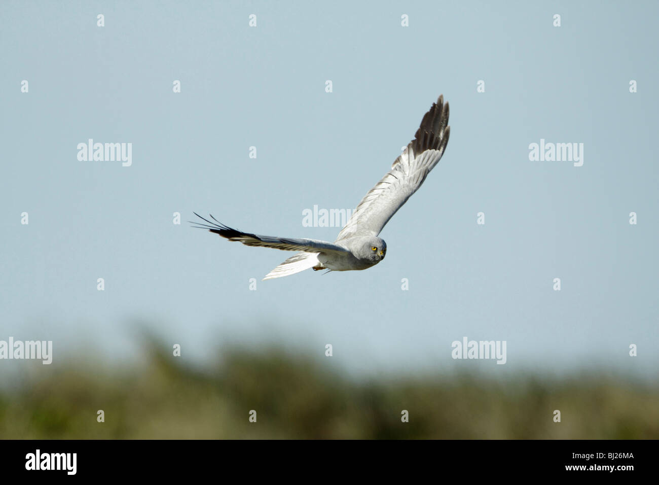 Hen harrier (Circus cyaneus) Male hunting over sand dunes