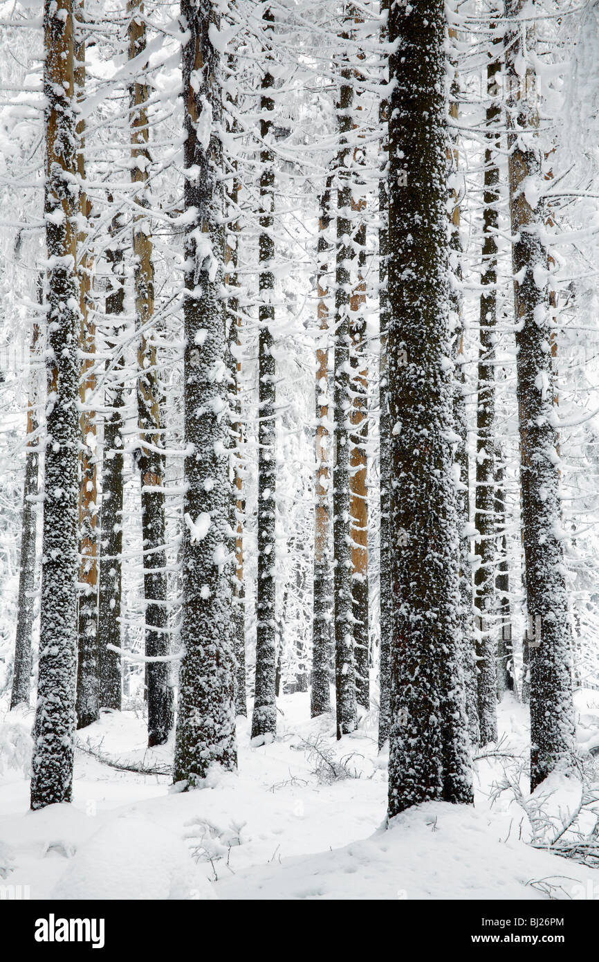 Snow and ice covered Norway Spruce trees, Picea abies, in Harz mountains National Park, , Lower Saxony, Germany - Stock Image