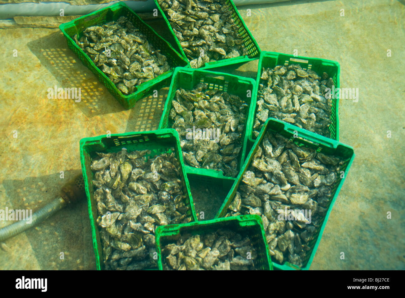 Oysters in cases being kept under fresh sea water to be served to customers - Stock Image
