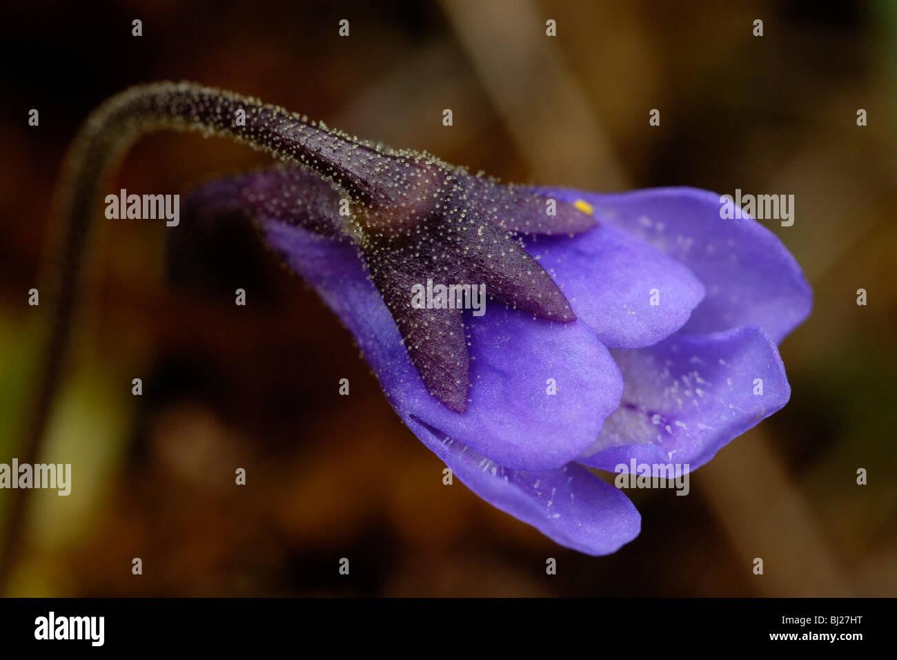 Common Butterwort, pinguicula vulgaris - Stock Image