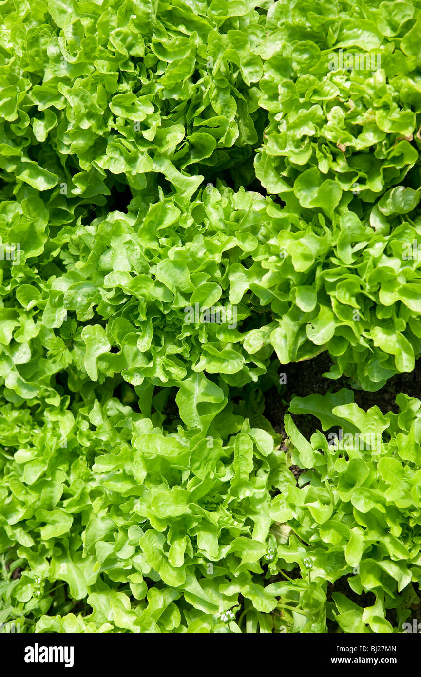 LETTUCE WITH CURLY LEAVES GROWING IN FIELD - Stock Image