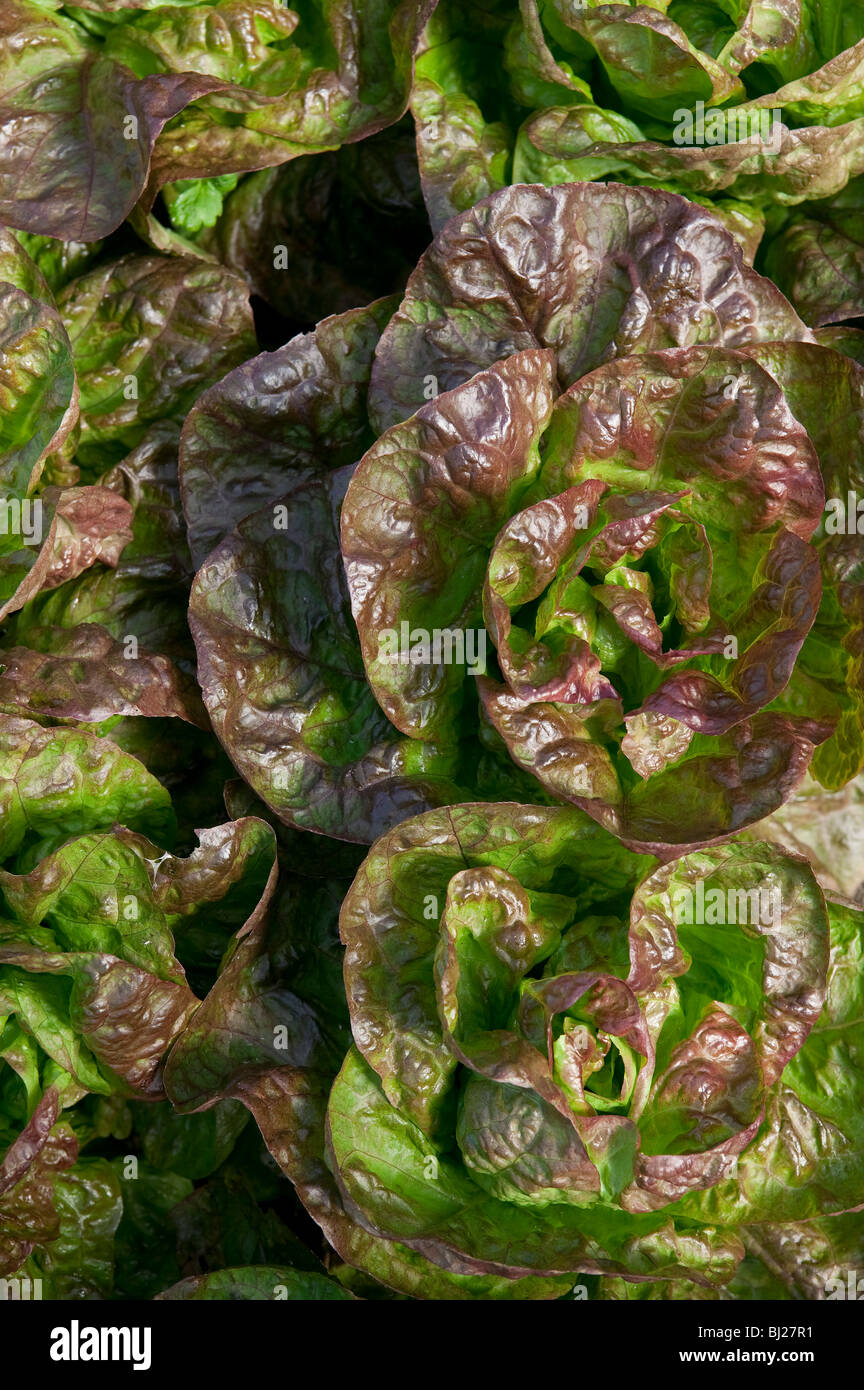 LETTUCE GROWING IN FIELD UK - Stock Image