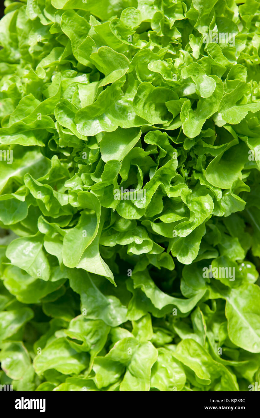 CLOSE UP OF CURLY LEAVED LETTUCE GROWING IN FIELD - Stock Image
