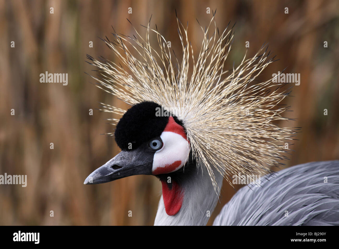 Close Up Of Head Feathers Of African Grey Crowned Crane Balearica regulorum Taken At Martin Mere WWT, Lancashire - Stock Image