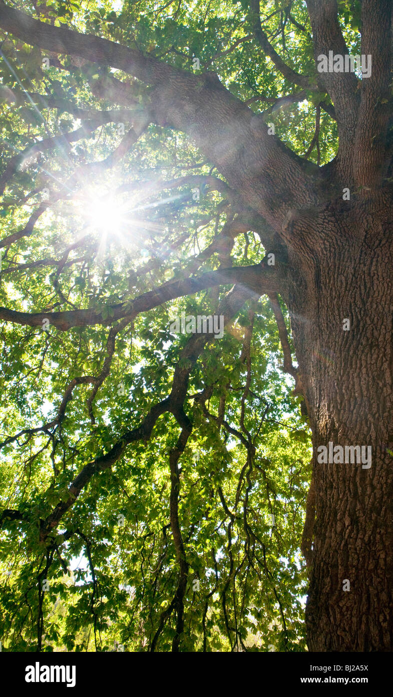 Sunlight through the leaves of a oak tree - Stock Image