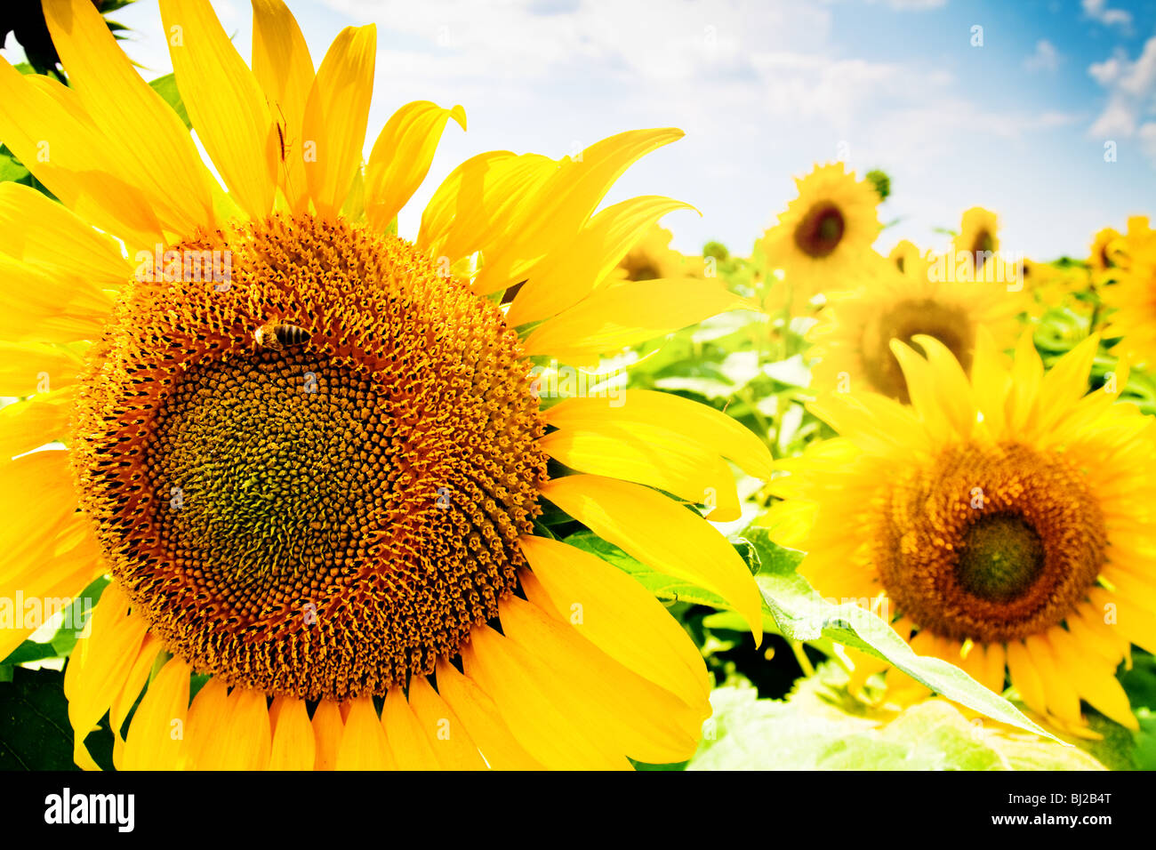 Colorful agricultural landscape of sunflower field and blue sky - Stock Image