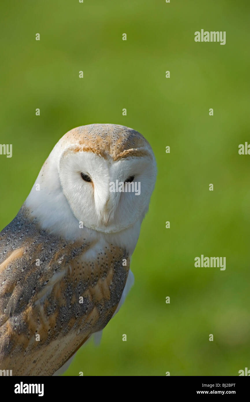 Barn owl, Tyto alba, facial disc showing eye and beak - Stock Image
