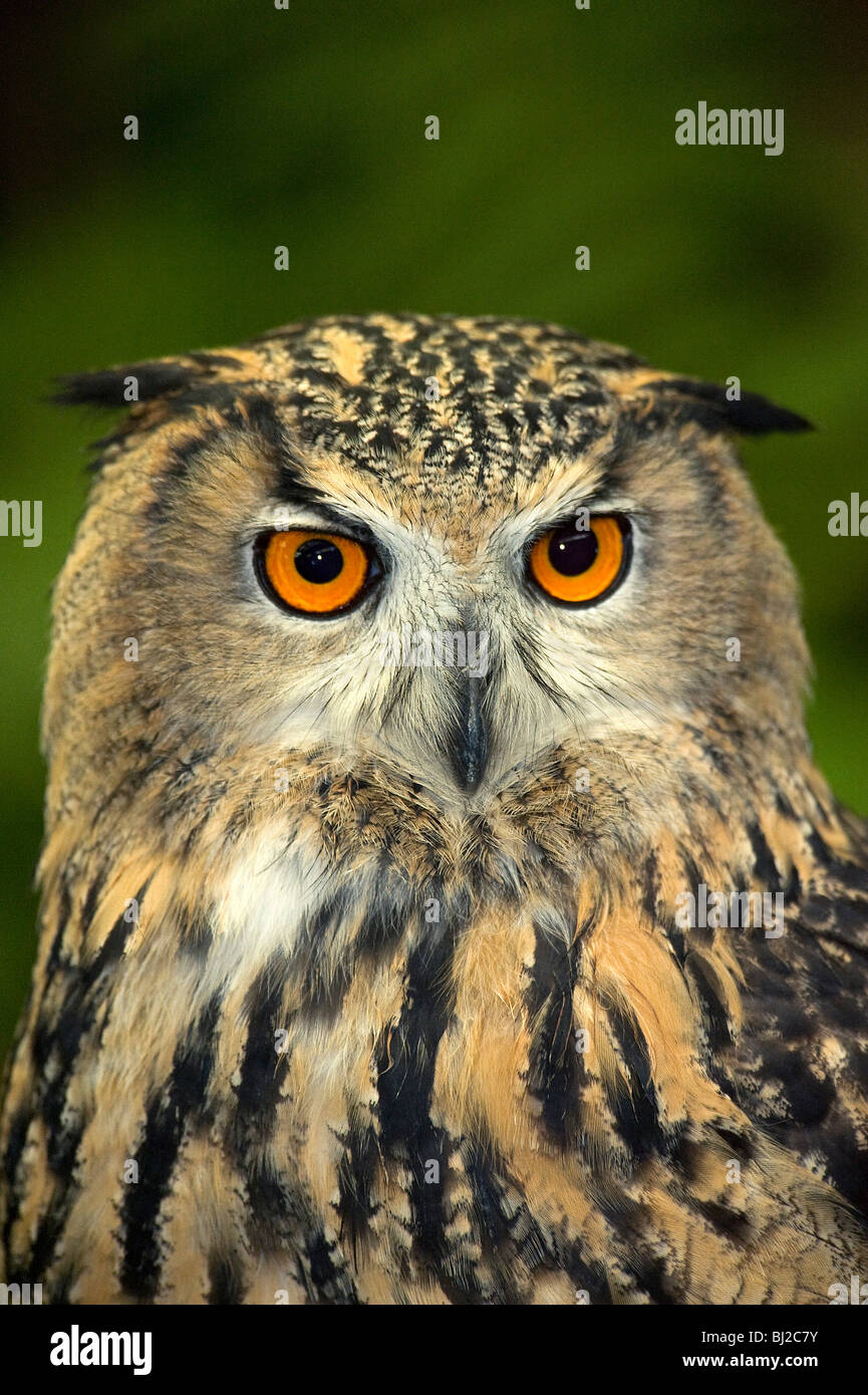 Portrait European eagle owl, Bubo bubo, showing eyes and beak and ear tufts. - Stock Image