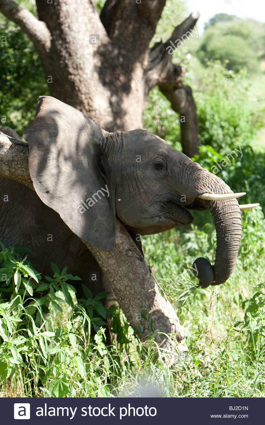 An African Elephant uses the aid of a tree to rub its neck. Tarangire National Park, Tanzania. - Stock Image