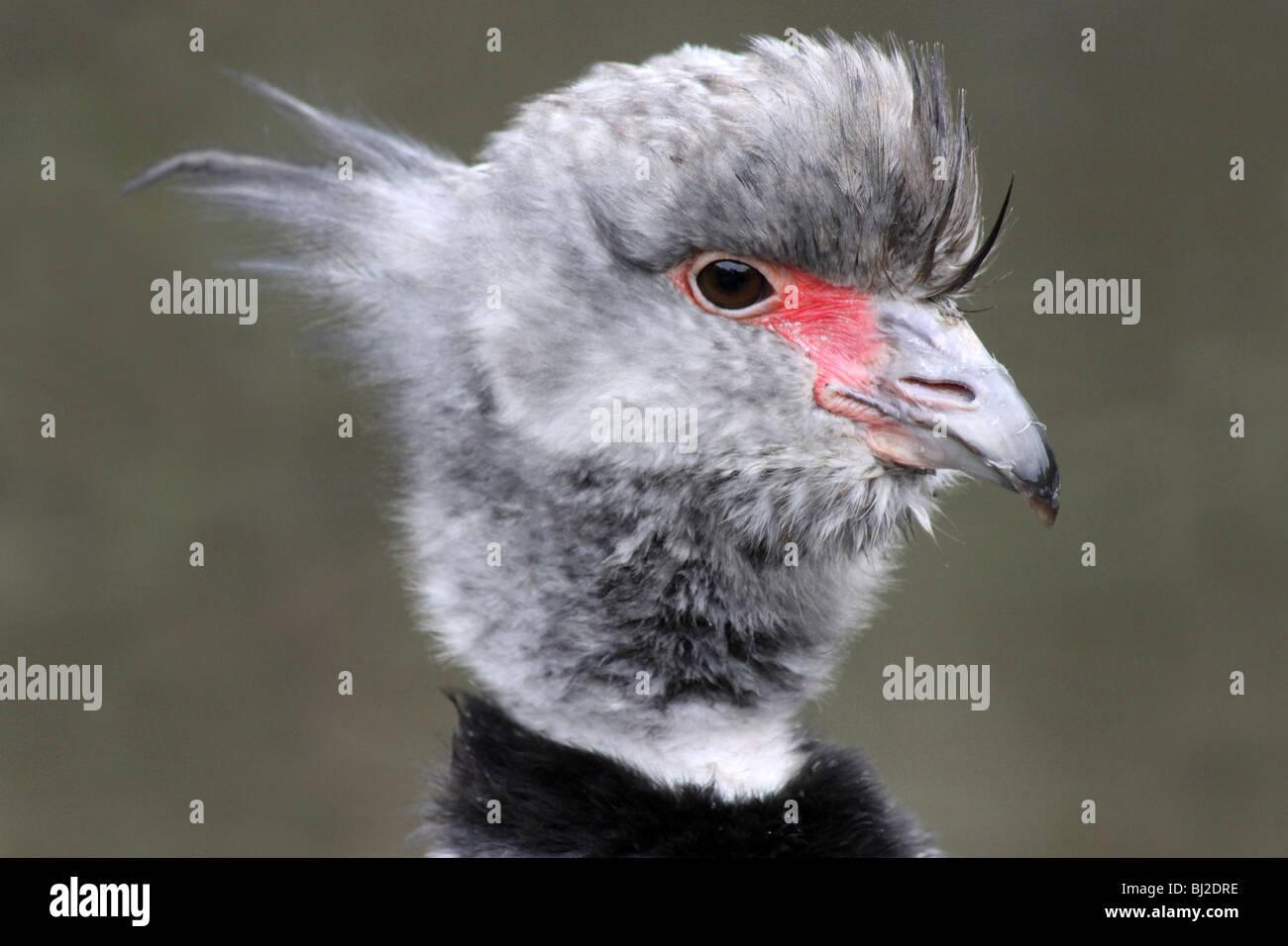 Close Up Of Head And Beak Of Southern Crested Screamer Chauna torquata At Martin Mere WWT, Lancashire UK - Stock Image