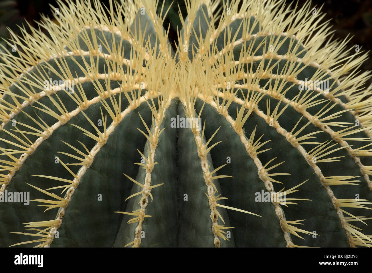 Ferocactus glaucescens with spines emerging from ribs N E Mexico - Stock Image