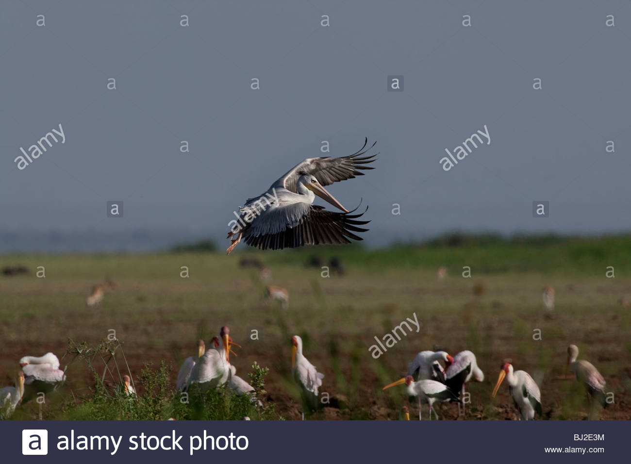 An Great White Pelican is landig at Lake Manyara National Park, Tanzania. The other birds are Yellow-billed Storks. - Stock Image