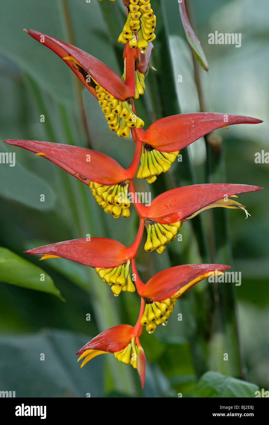 Heliconia collinsiana var collinsiana, a pendent heliconia in fruit from Honduras Stock Photo