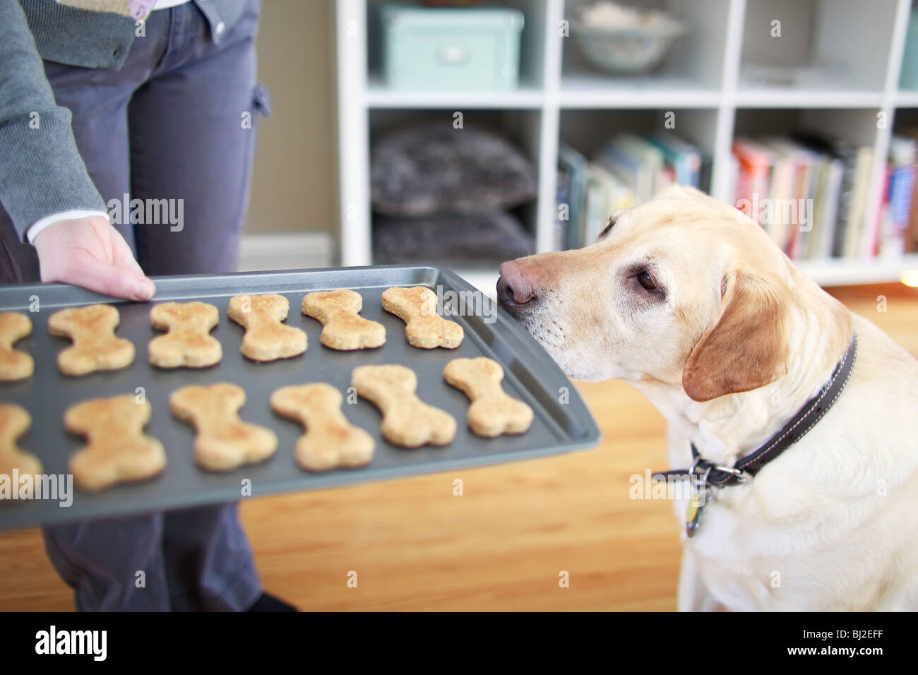 Young Yellow Labrador Retriever begging for a homemade dog biscuit.  Winnipeg, Manitoba, Canada. - Stock Image