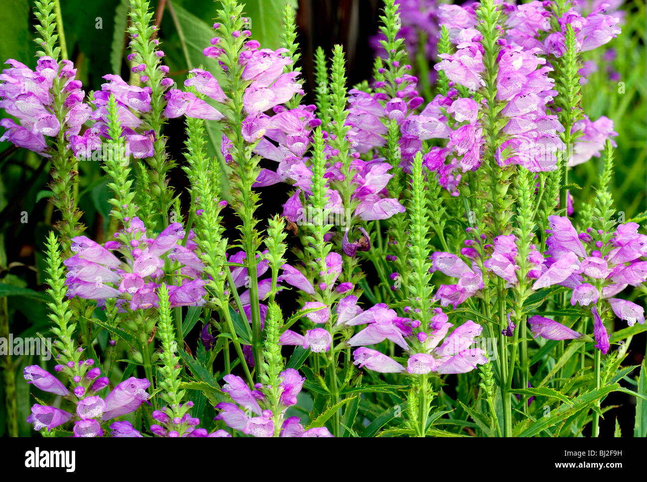 'Vivid' Obedient Plant (Physostegia 'Vivid'} blossoms. Al's Garden Center. Oregon Stock Photo