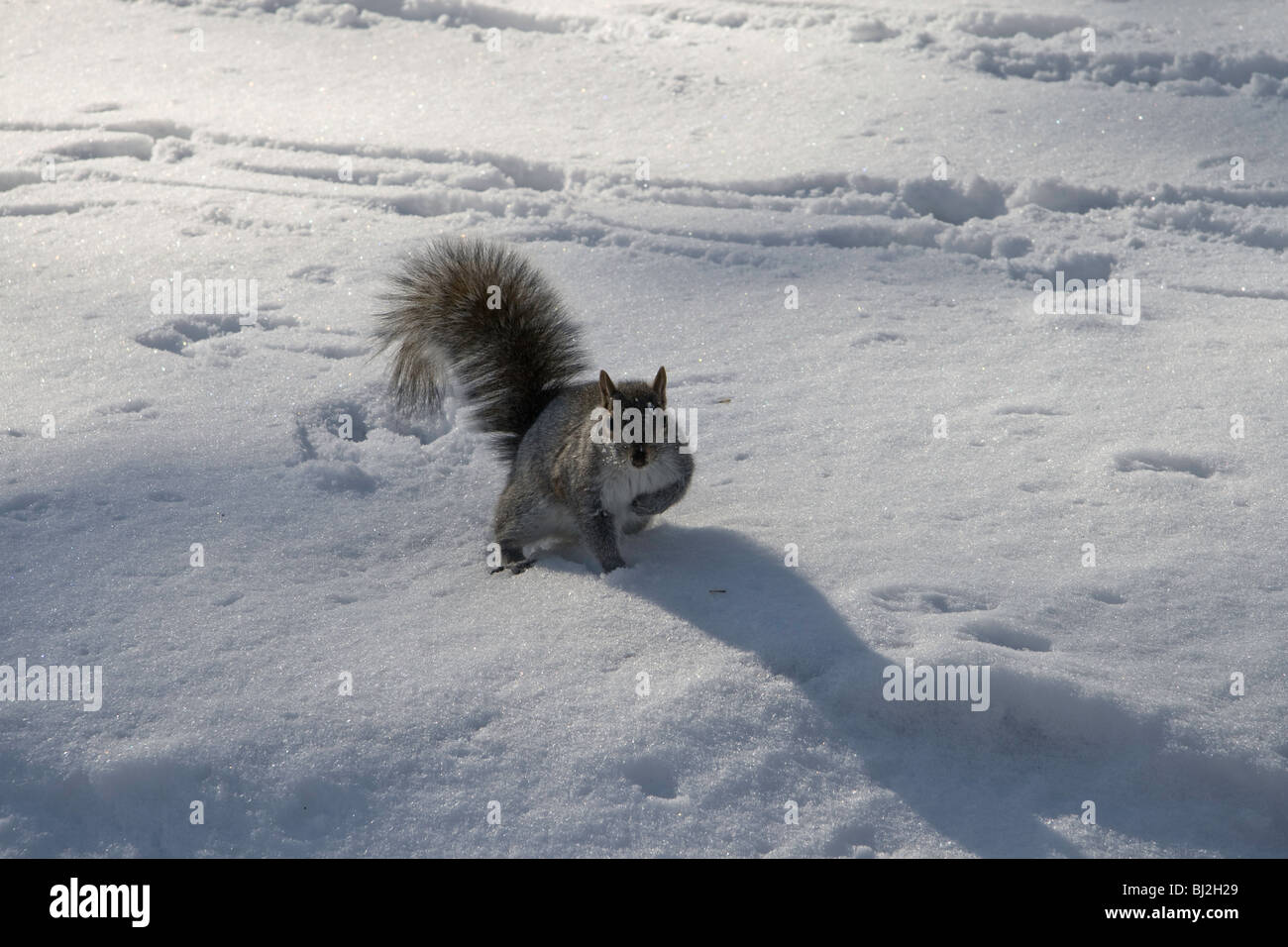 An inquisitive gray squirrel playing in the snow in New York's Central Park - Stock Image