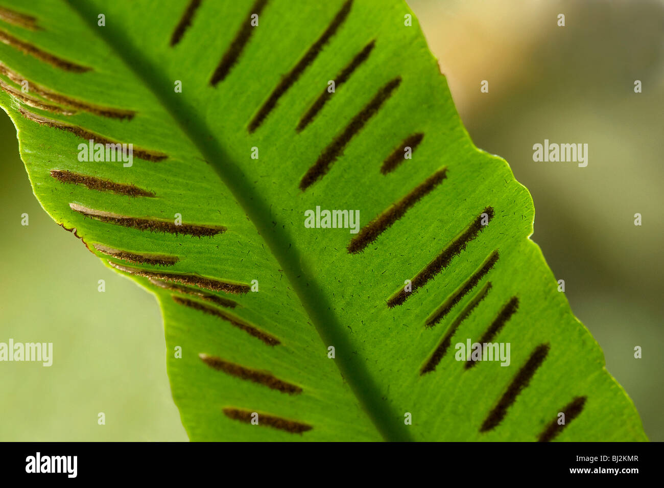 Harts tongue fern with  long straight sori - Stock Image